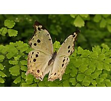 Mother Of Pearl Butterfly Photographic Print