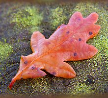 autumn oak leaf ... by SNAPPYDAVE
