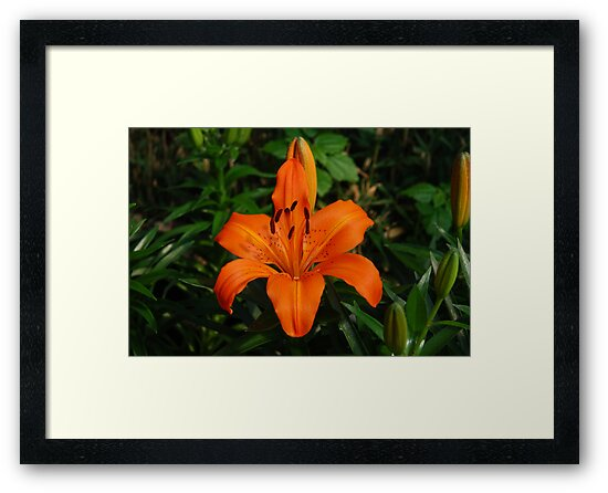 Beautiful Orange Lily by Lynda   McDonald