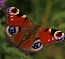 Butterfly 02 by Sinistral
