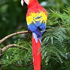 Scarlet Macaw - Costa Rica by Jim Cumming