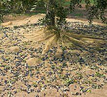 Harvest of olives by dominiquelandau