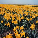 ..AND THEN MY HEART WITH PLEASURE FILLS,AND DANCES WITH THE DAFFODILS by DIANEPEAREN