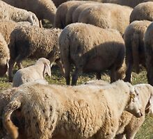flock of sheep by spetenfia