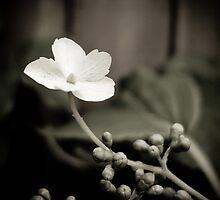Hydrangea by Jayne Le Mee