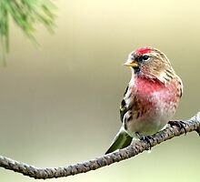Lesser Red Poll - Carduelis Cabaret by Robert Flynn