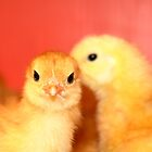 Baby Chickens by imarkimages