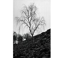 Single silver Birch Photographic Print