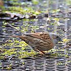 a delightful dunnock... by wigs