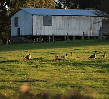 Wild Ducks by iamsiam
