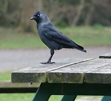 Jackdaw by frogs123
