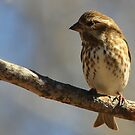 Female House Finch by NatureGreeting Cards ©ccwri