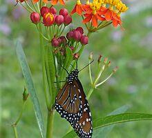 Monarch Migration by Cathy Jones