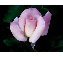 Floribunda Rose 'Bridal Pink' Photographic Print