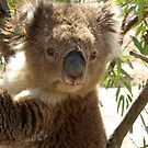 Koala by James Millward