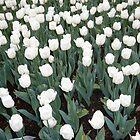 White Tulips by Carol Smith