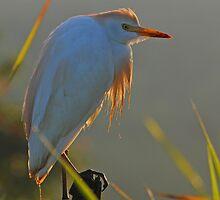Backlit Cattle Egret by claudefletcher