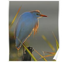 Backlit Cattle Egret Poster