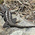 Jacky Lizard, Amphibolurus muricatus  by peterstreet