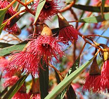 Flowers of a Red Flowering Gum by Marilyn Harris