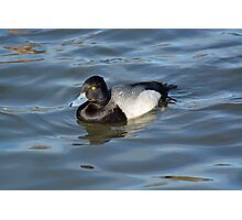 Lesser Scaup Photographic Print