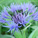 Blue Cornflower by PhotosByHealy
