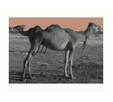 Camels Art Print