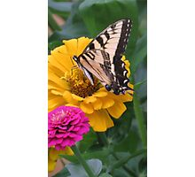 Swallowtail Butterfly And Colorful Zinnias Photographic Print