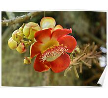 Cannonball Tree Flower, Penang, Malaysia Poster