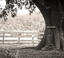 The Strength of an old Oak by Lauren Pigford