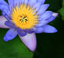 Water Lily by Erin McMahon