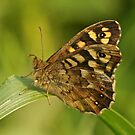 Speckled Wood Butterfly by Robert Abraham