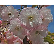 Cherry Tree Blossom Photographic Print