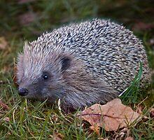 Hedgehog by Krys Bailey