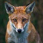 Red Fox Portrait by Krys Bailey