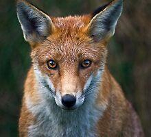 British Wildlife by Krys Bailey