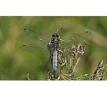 Black-Tailed Skimmer Photographic Print