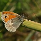 Small Heath Butterfly by Robert Abraham