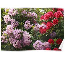 spring rhododendron Poster