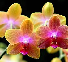 Orchids so Wonderful by Jo Nijenhuis