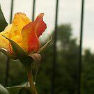 Rosa entre rejas by shortarcasart