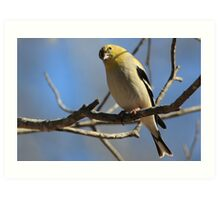 Gold Finch. by NatureGreeting Cards ©ccwri Art Print
