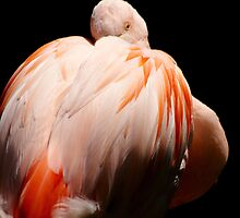Chilean Flamingo by Tamara  Kenneally