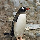Gentoo Penguin &quot;Pygoscelis papua&quot; #1 by Rosie Appleton