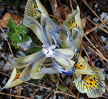 It Hailed On My Dwarf Iris by Alexandra Lavizzari