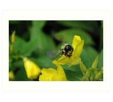 Bee with pollen Art Print