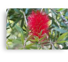 Red Bottlebrush 6 Canvas Print