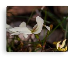 Cow Kicks (Stylidium schoeoides) Canvas Print