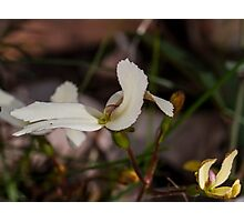 Cow Kicks (Stylidium schoeoides) Photographic Print