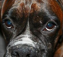 Luthien' Eyes  -Boxer Dogs Series- by Evita